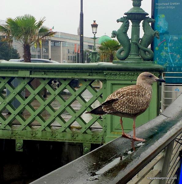 Ave aquática na Ponte Grattan, Centro de Dublin, Irlanda