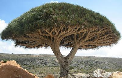 yemen dragon trees