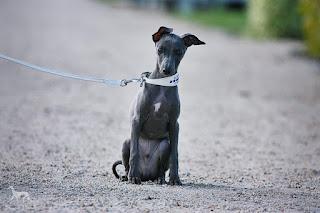 Italian Greyhound Sighthound for sale