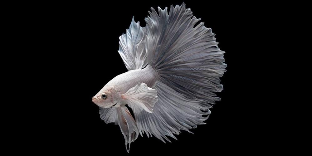 Mengenal Ikan Cupang Atau Ikan Laga