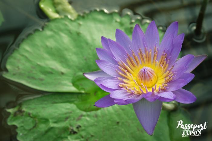 Fleur de lotus, serre tropicale d'Umi Jigoku, Beppu, Oita