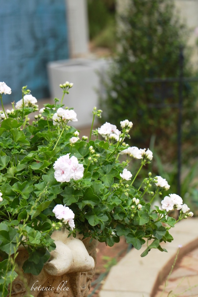 fertilize-geraniums-for-profuse-blooms