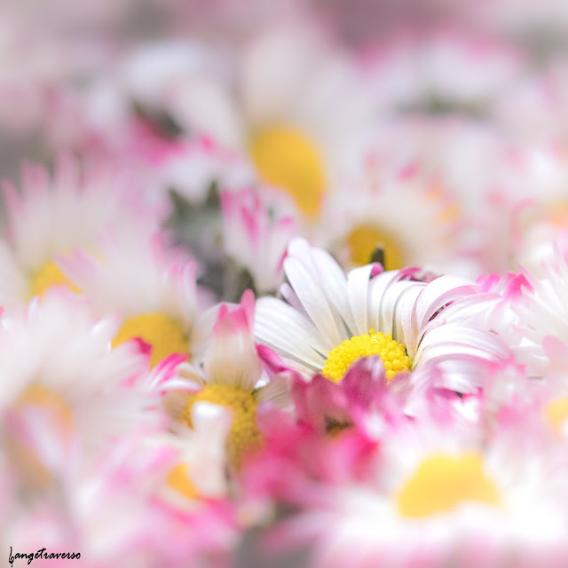 flore, flore des alpes, nature, natural, macro, paquerette, bellis