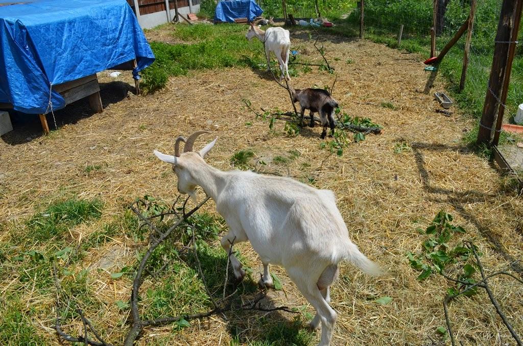 ab3ef72394 Ma reggel a tesóm keltett azzal, hogy a kecskék elöl vannak, az udvarban.  És tényleg: a három kecske békésen heverészett a kecskeudvar kerítése előtt.