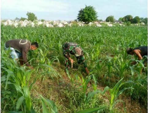 Sertu Sugito Dampingi Petani Lakukan Perawatan Tanaman Jagung di Kecamatan Selesai