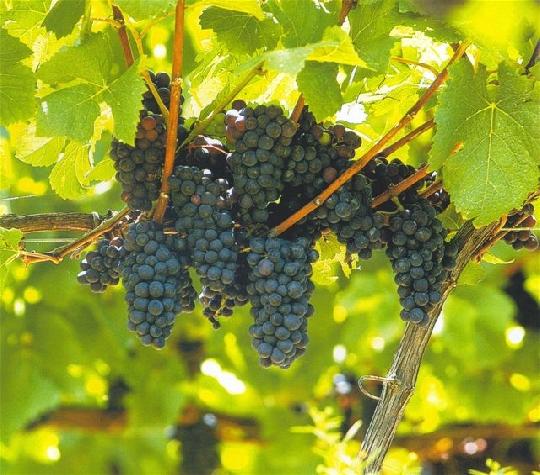 uvas y próstata