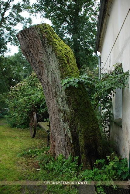 duże drzewo wieś