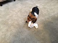 A Beagle who got a hold of a white sock