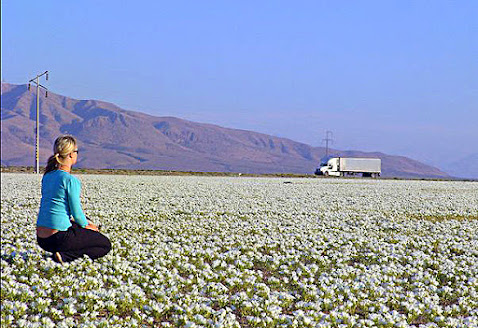 Flowering Atacama Desert, northern Chile.