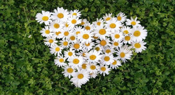 Bunga Chamomile Untuk Kesehatan