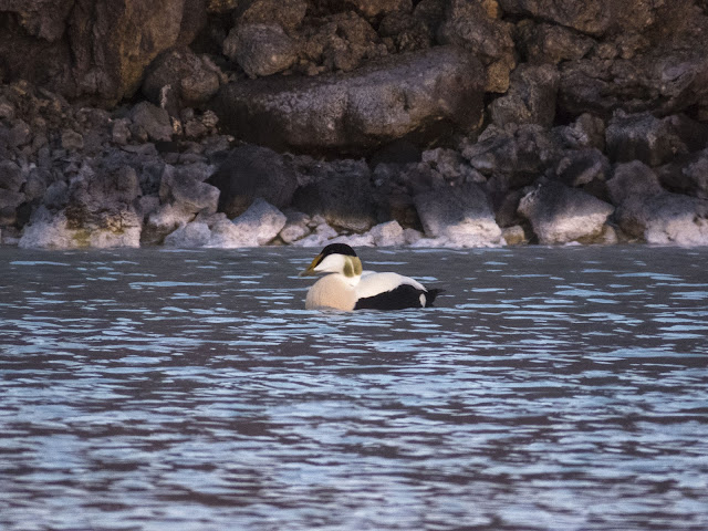 Iceland's Blue Lagoon under the Midnight Sun: Eider duck swimming in the hot spring