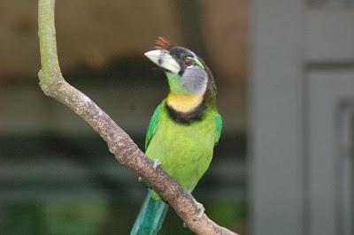 Barbudo picofuego Psilopogon pyrolophus