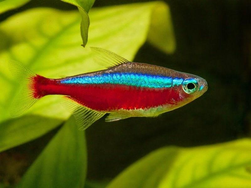 50. Jenis Ikan Hias Aquascape Cardinal Tetra