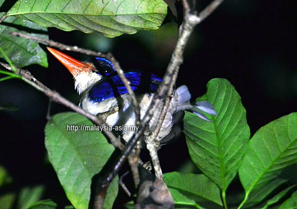 Raja Ampat Paradise Kingfisher