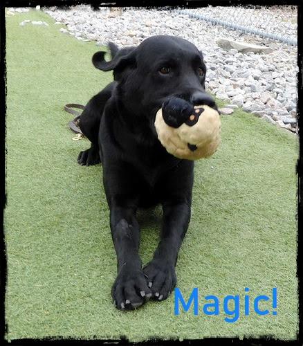 Black Labrador Retriever Adoption