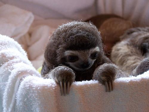 Amazing+Animals+Picture++Pygmy+Three-Toe