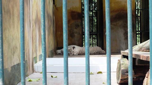 harimau putih taman hewan pematang siantar