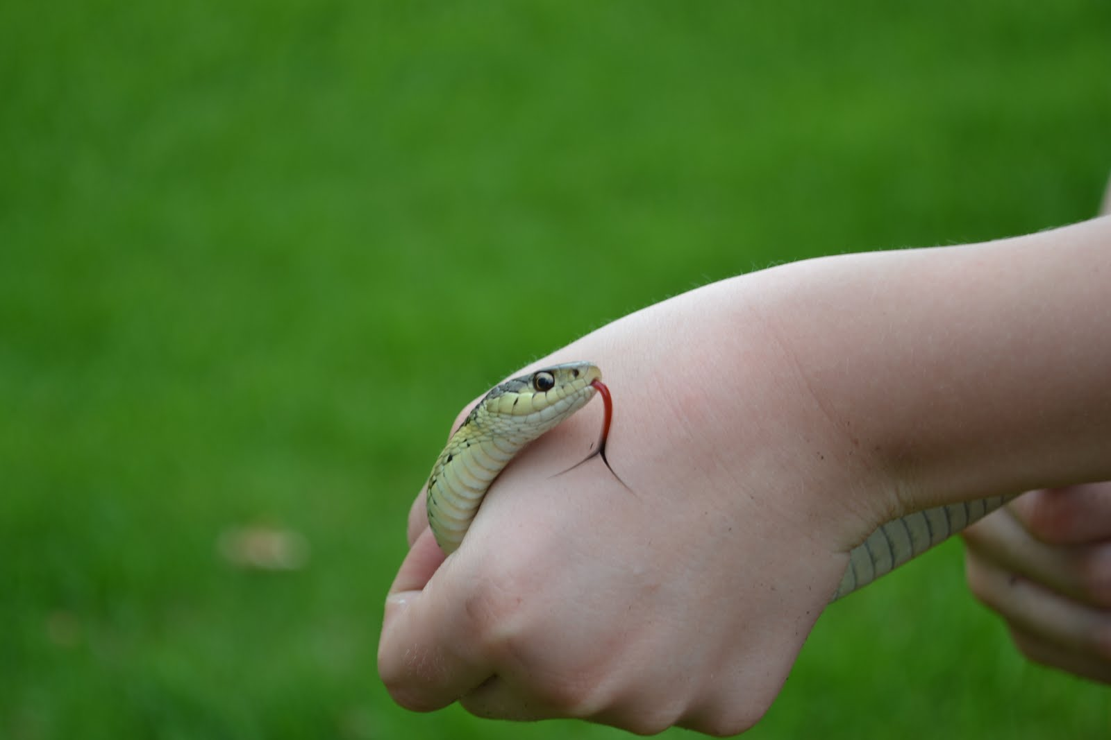 All about snakes   Welcome Wildlife   Garter Snake Teeth