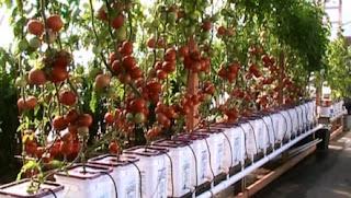 Sayuran tomat hidroponik