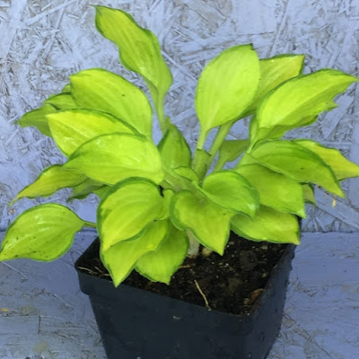 Emerald Tiara Hosta