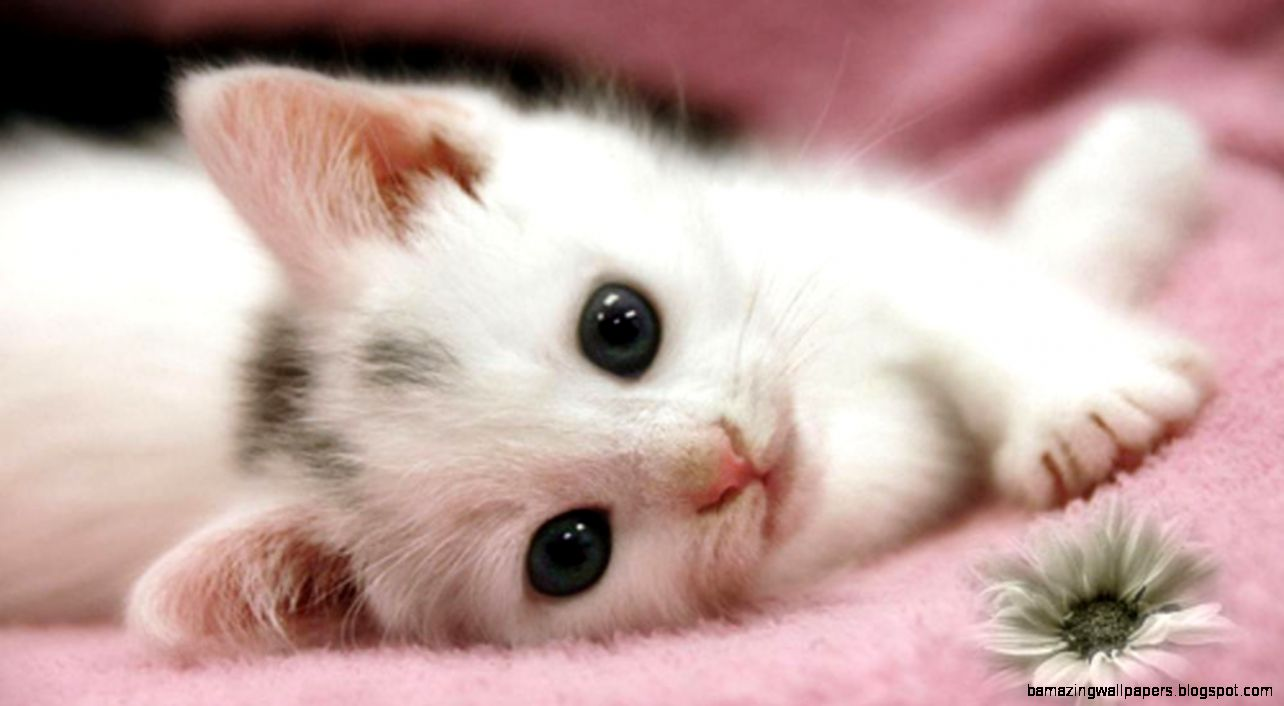 Cute White Kitten Wallpaper | Amazing Wallpapers