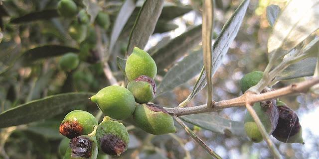 Θ. Πετράκος: Οι ελαιοπαραγωγοί όλης της χώρας θα υποστούν δραματική μείωση του εισοδήματός τους λόγω δάκου