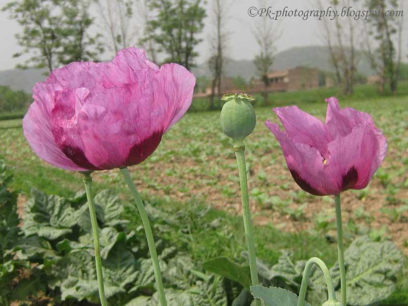 Opium Poppy Plant  Flo...