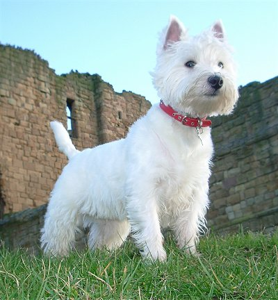 About Dog West Highland White Terrier: How Well Is Your ...