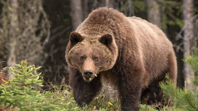 Closing roads counters effects of habitat loss for grizzly bears