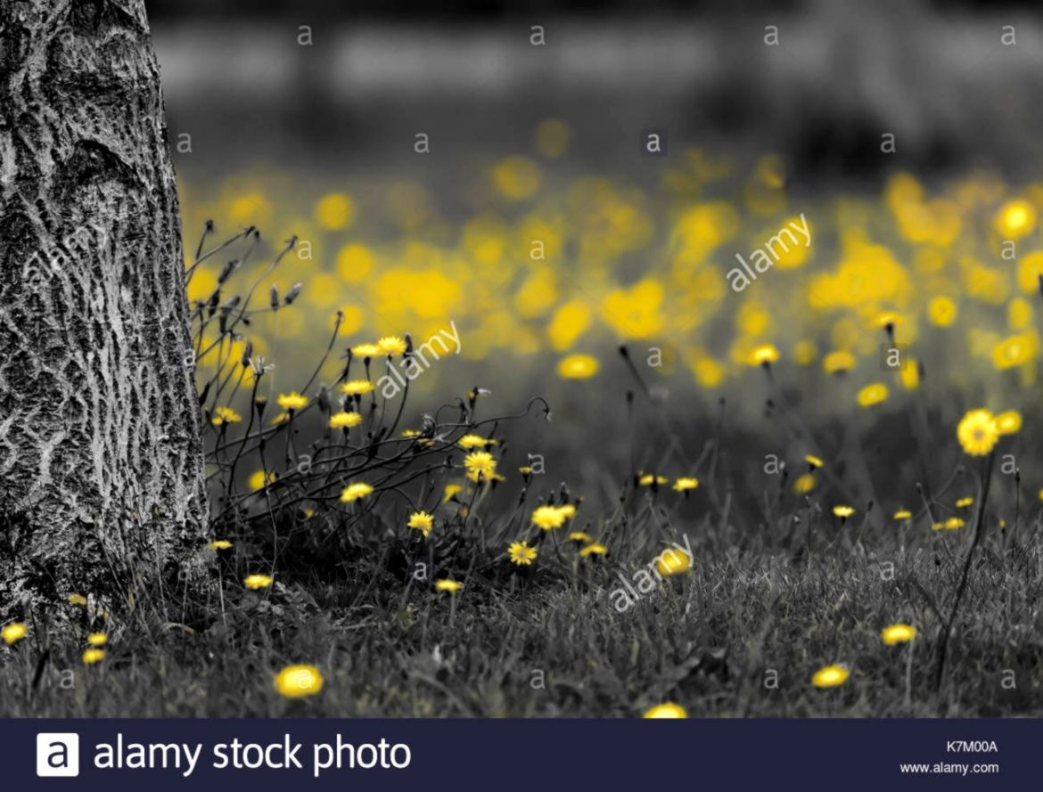 Field of dandelions in black and white with the yellow flower
