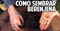 Como sembrar Berenjena - Paso a Paso - 1