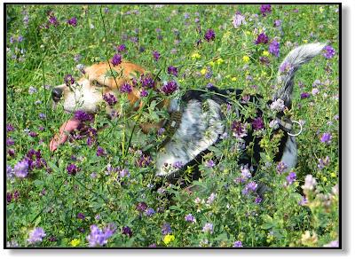 der Beagle in der Blumenwiese