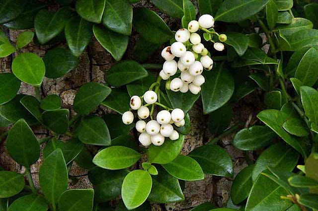 white berries on green plant