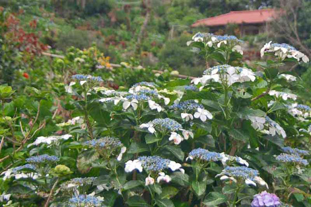 Ajisai, flowers, gardens, Hydrangea, Motobu, Okinawa, Yohena