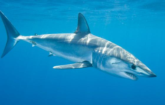 Ikan hiu Mako Isurus  dunia hewan dan binatang