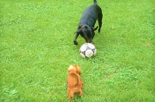 犬とサッカーボール(写真)