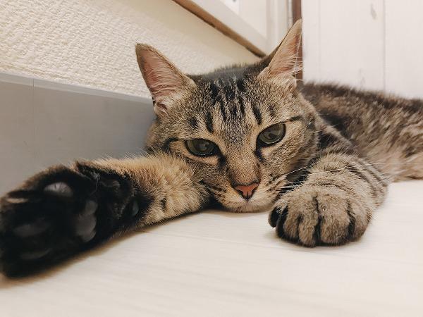 前足を伸ばしてぼんやりしているキジトラ猫