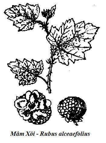 Hình vẽ Mâm Xôi - Rubus alceaefolius - Nguyên liệu làm thuốc Chữa Bệnh Tiêu Hóa