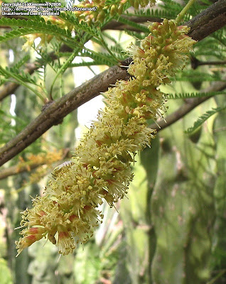Algarrobo negro Prosopis nigra