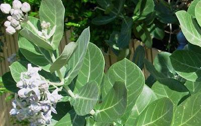 Manfaat  tumbuhan biduri