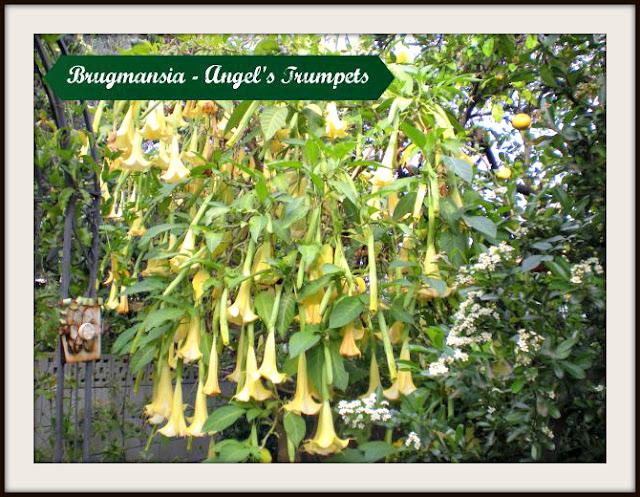 Brugmansia Angel's Trumpets