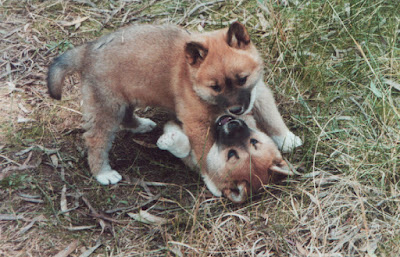 So, You Want to Own a Dingo by Berenice Walters. Part 2