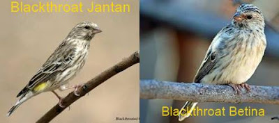 blackthroat jantan dan betina