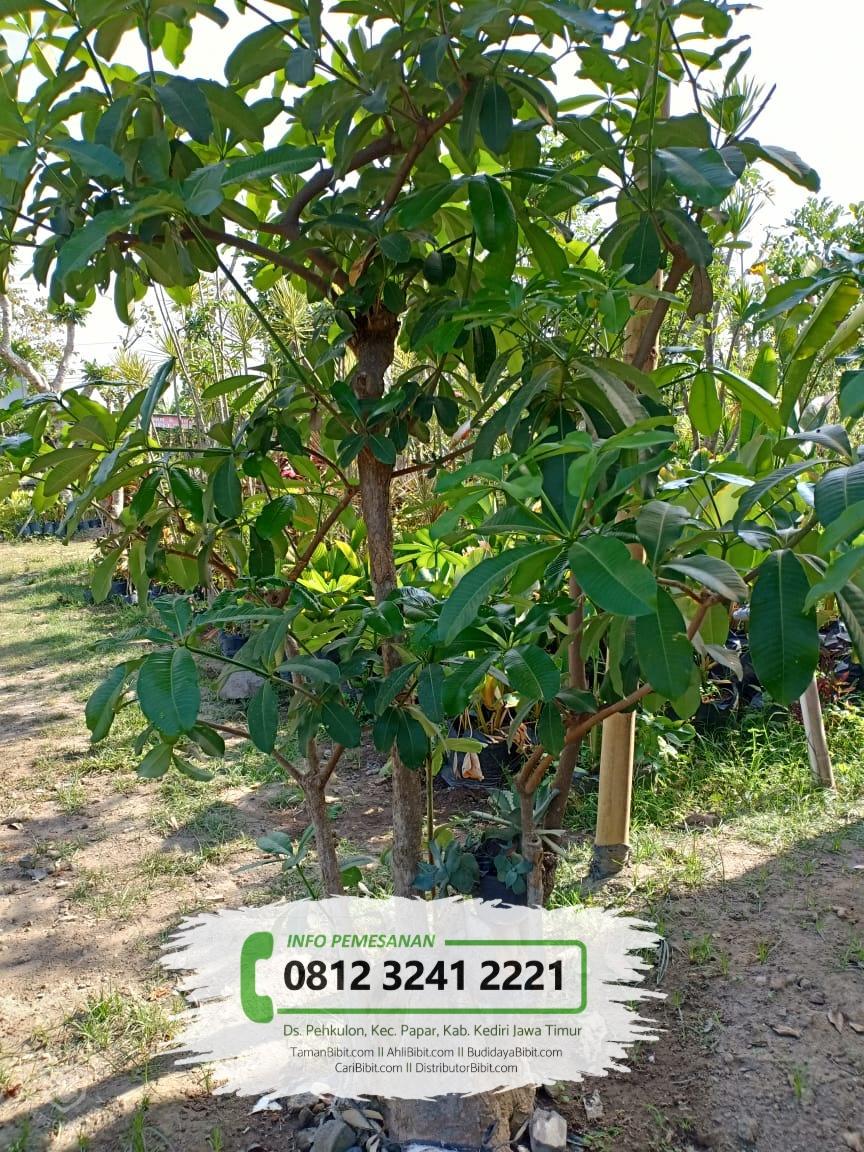Jual Bibit & Benih Biji Pohon Pule / Pulai