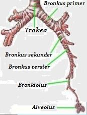 trakea dan struktur paru-paru