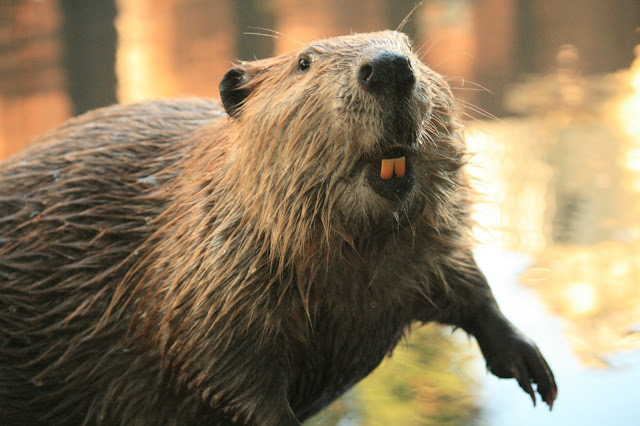 Beaver animal facts