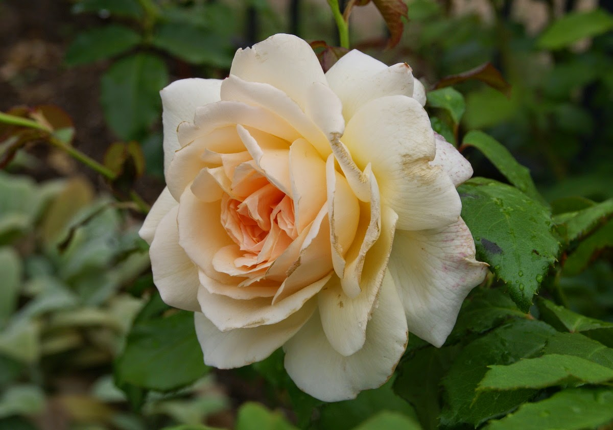Organic Garden Dreams July Roses