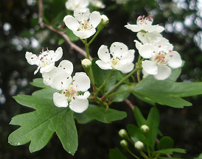 Flores del espino albar