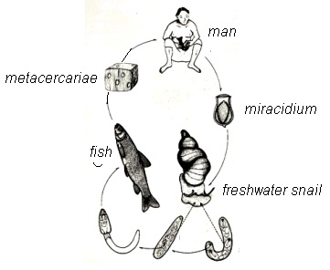 Introduction to Medical Parasitology: Clonorchis sinensis