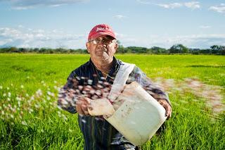 cara memupuk padi yang benar